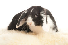 Lop-eared rabbit. Sitting on a sheep's pelt Royalty Free Stock Image