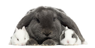 Lop-eared rabbit and young rabbits, isolated Stock Images