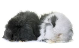 Lop-eared  rabbits in studio. Lop-eared  rabbits in front of white background Stock Image