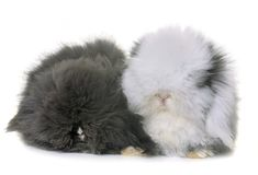 Lop-eared  rabbits in studio. Lop-eared  rabbits in front of white background Stock Photo