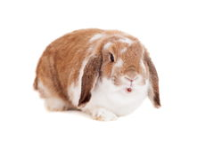 Lop-eared red spotted rabbit Stock Image