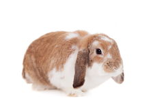 Lop-eared red spotted rabbit Stock Photo