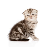 Lop-eared Scottish kitten looking at camera. isolated Stock Photo