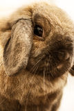 Lop-earred Rabbit. Close up portrait of a long ear rabbit Royalty Free Stock Photography