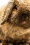 Lop-earred Rabbit. Close up portrait of a long ear rabbit Stock Photos