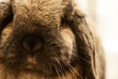 Lop-earred Rabbit. Close up portrait of a long ear rabbit Stock Photography