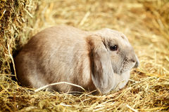 Lop-earred Rabbit Royalty Free Stock Photography