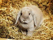 Lop-earred Rabbit Royalty Free Stock Photos