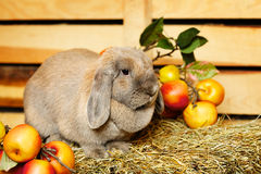 Lop-earred Rabbit Royalty Free Stock Photo