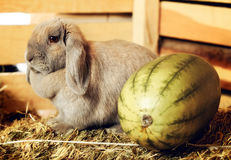 Lop-earred Rabbit Stock Images