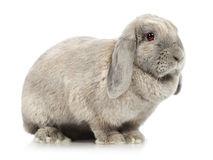Lop-earred Rabbit Stock Photos