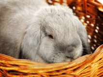 Lop-earred Rabbit Stock Image