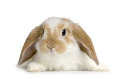 Lop Rabbit. Close-up on a Lop Rabbit in front of a white background Stock Photo