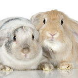 Lop Rabbit. Close-up on a Lop Rabbit in front of a white background Royalty Free Stock Photo
