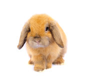 Lop rabbit Stock Images