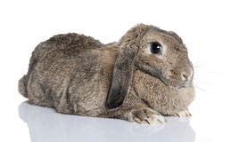 Lop rabbit (4years old). In front of a white background Royalty Free Stock Image
