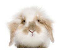 Lop rabbit, 6 months old. In front of white background Royalty Free Stock Photography