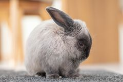 Lop Rabbit royalty free stock photos