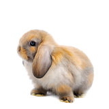 Lop Rabbit in front of a white backgroun Royalty Free Stock Photos