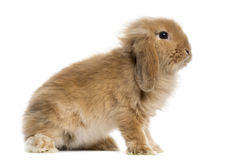 Lop Rabbit. In front of a white background Royalty Free Stock Images