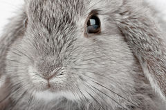 Lop Rabbit Stock Image