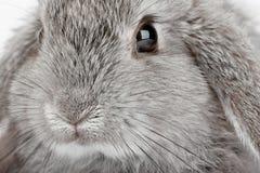 Lop Rabbit. The Grey Lop Rabbit, abstract macro shot Stock Image