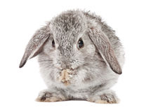 Lop Rabbit. The Grey Lop Rabbit on white Royalty Free Stock Image
