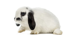 Lop rabbit Royalty Free Stock Image