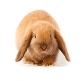 Lop-rabbit, Miniature Lop (Oryctolagus cuniculus) Royalty Free Stock Photography