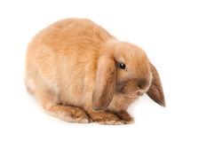 Lop-rabbit, Miniature Lop (Oryctolagus cuniculus) Stock Photos
