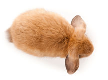 Lop-rabbit, Miniature Lop (Oryctolagus cuniculus) Royalty Free Stock Photos