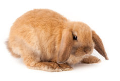 Lop-rabbit, Miniature Lop (Oryctolagus cuniculus) Royalty Free Stock Images