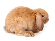 Lop-rabbit, Miniature Lop (Oryctolagus cuniculus) Stock Photography
