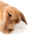 Lop-rabbit, Miniature Lop (Oryctolagus cuniculus) Stock Photo