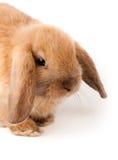 Lop-rabbit, Miniature Lop (Oryctolagus cuniculus) Stock Photo