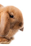 Lop-rabbit, Miniature Lop (Oryctolagus cuniculus) Stock Images