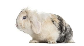 Lop Rabbit , 1 year old, sitting against white background. Isolated on white Stock Image