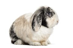 Lop Rabbit , 1 year old, sitting against white background. Isolated on white Royalty Free Stock Photography