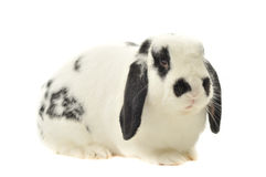 Lop spotted bunny sits on white table Royalty Free Stock Photos