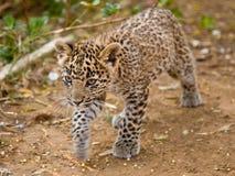 Léopard Cub Image libre de droits