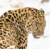 Léopard d'Amur Photographie stock