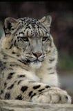 Léopard de neige Image libre de droits