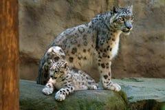 Léopard de neige Images stock