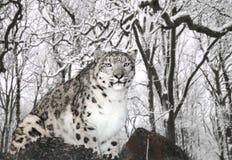 Léopard de neige Photographie stock libre de droits