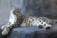Léopard de neige Images libres de droits