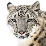 Léopard de neige XVI Photographie stock