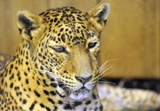 Léopard du Sri Lanka Image libre de droits