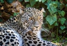 Léopard persan, zoo biblique de Jérusalem en Israël Image libre de droits
