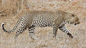 Léopard, sables de Sabi, stationnement national de Kruger Images libres de droits