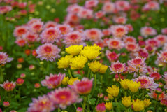 lopburi未看见的泰国菊花  免版税库存图片